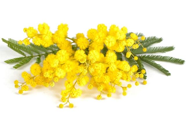zoom_1_mimosa-acacia-dealbata