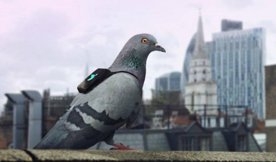 1458207084_pigeon-2